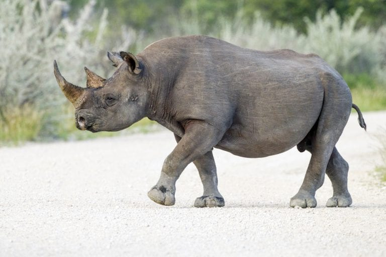 indigenous animal species on the brink of extinction_ Black Rhinoceros_
