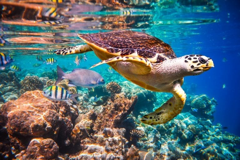 indigenous animal species on the brink of extinction_Hawksbill Turtle