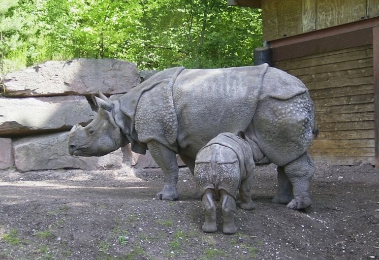 indigenous animal species on the brink of extinction_Javan rhinoceros