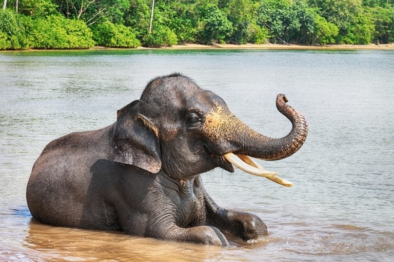 indigenous animal species on the brink of extinction_Sumatran Elephant