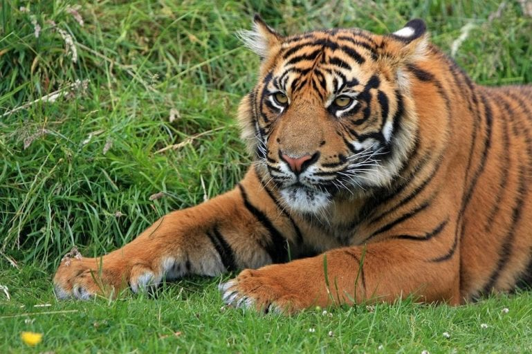 indigenous animal species on the brink of extinction_Sunda Tiger