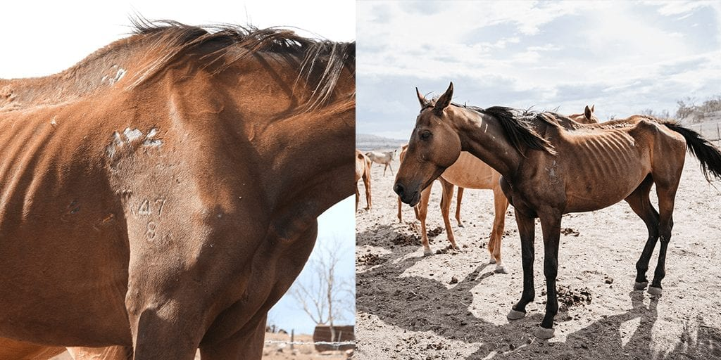 Outrage as 8 starving horses found amid 27 slowly decomposing corpses at farm