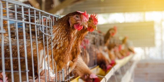 Tokyo Olympics urged to go vegan following exposé of official supplier's' hen hell' farm