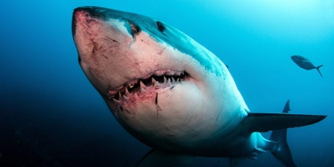 Great white shark numbers drastically decline in the Mediterranean