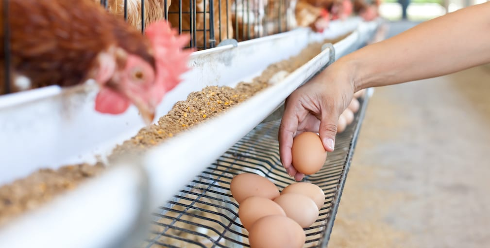 Hens at major egg farms will live cage-free by 2025 in Arizona