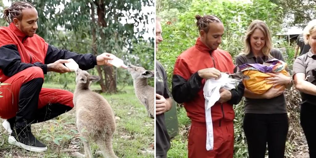Lewis Hamilton comforts and feeds baby kangaroos displaced in Australian bushfires