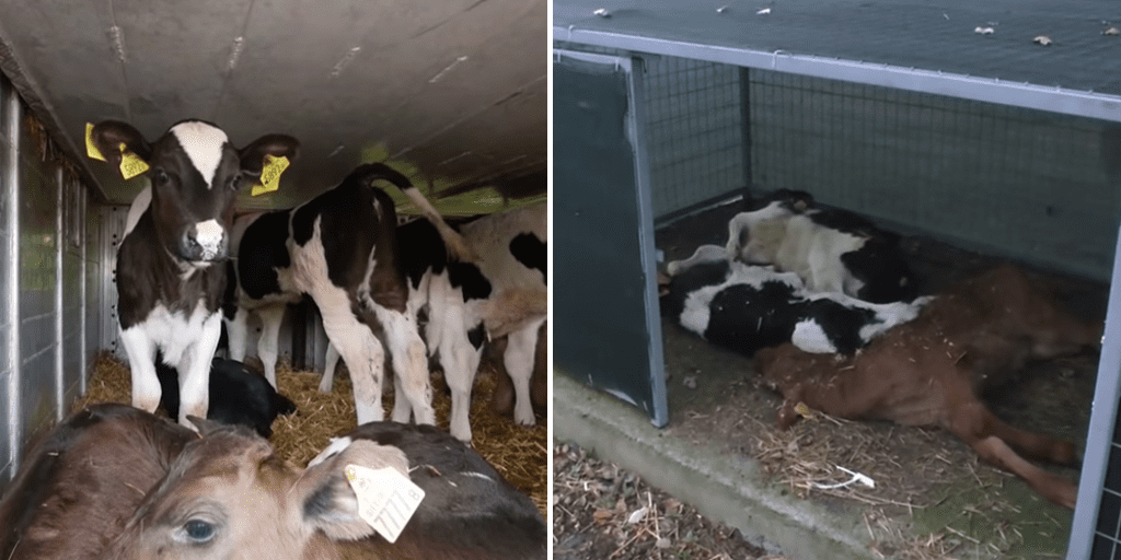 newborn male cows for brutal export journeys