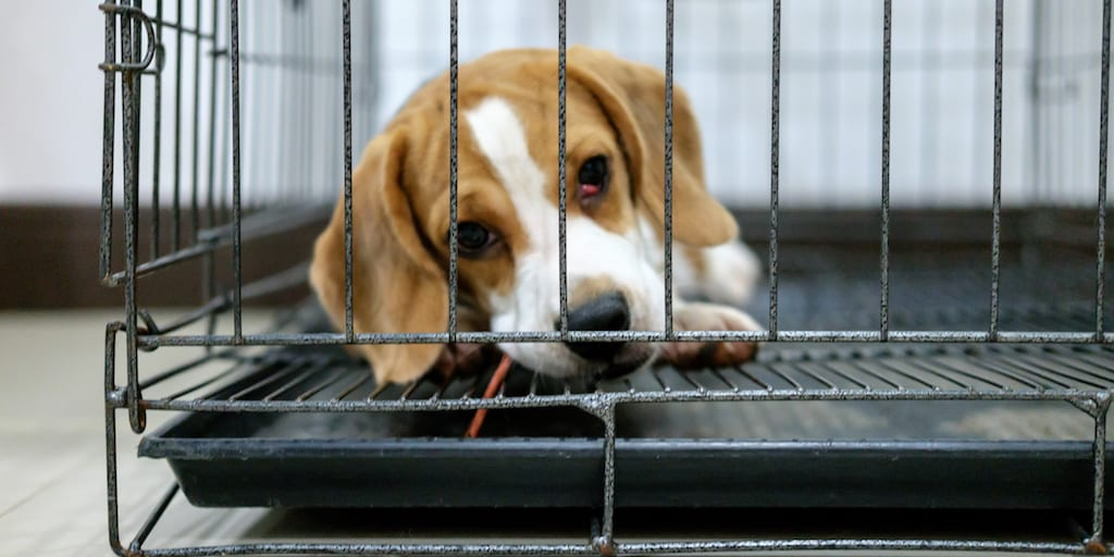 Protection enforcement for puppies at commercial breeders plummeted in 2019