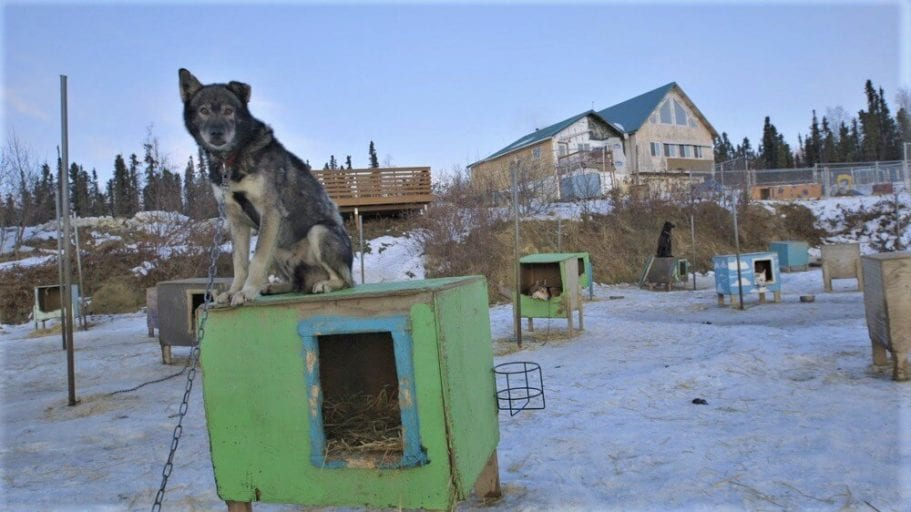 'Vomiting, frostbitten dogs forced to continue' Iditarod sled racing event