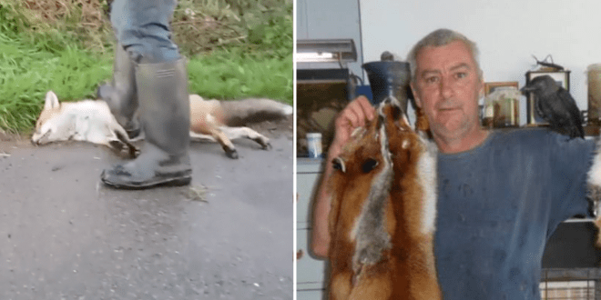 Wildlife hunter snares foxes, and 'barbarically' clubs and crushes them to death with his feet for the fur industry