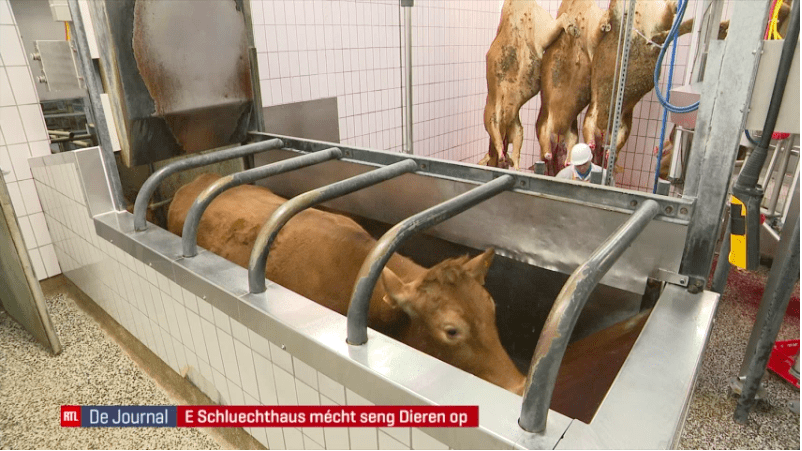slaughterhouse video shows cow being butchered without anaesthesia