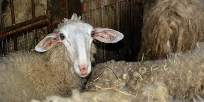 3,000 live sheep to be shipped from South Africa to Kuwait horrific export boat despite outcry