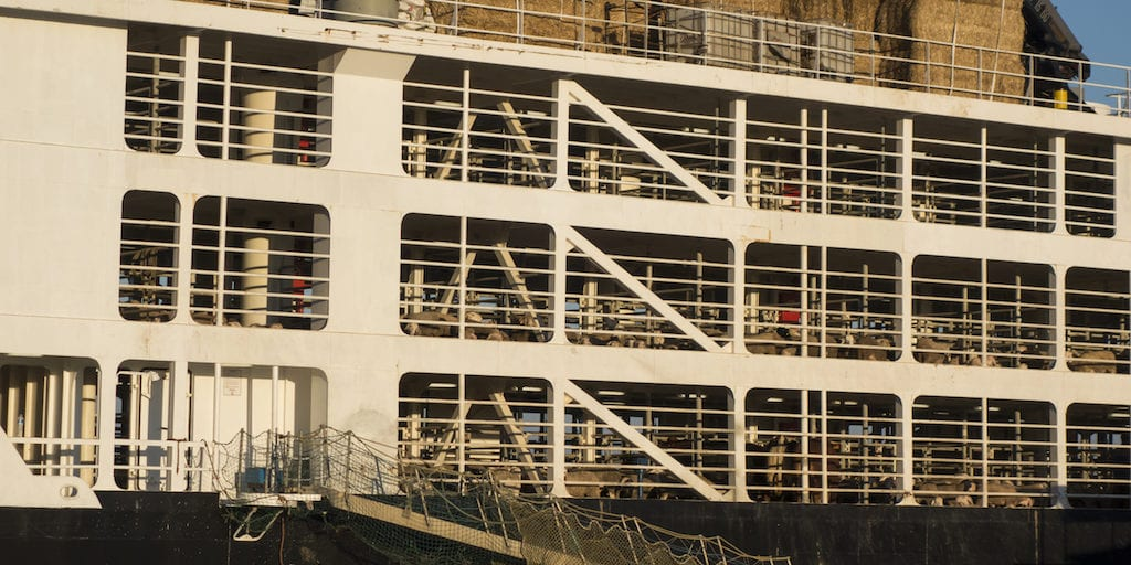 live sheep shipped from South Africa to Kuwait horrific export boat