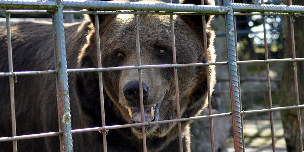 China continues to exploit wild animals by promoting bear bile for coronavirus cure