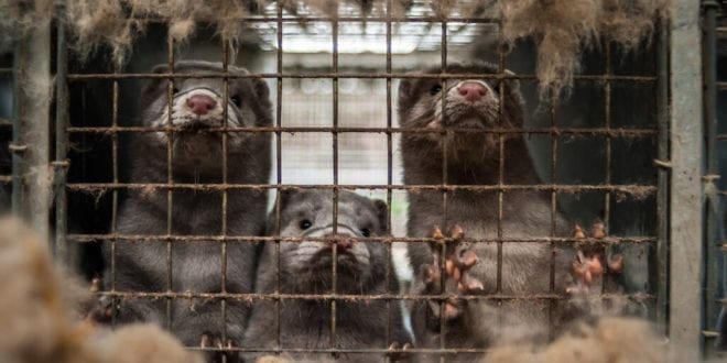 COVID-19 positive mink 'likely' to have infected Dutch farm worker