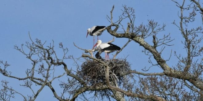 Wild white stork chicks hatch in the UK for the first time in 600 years