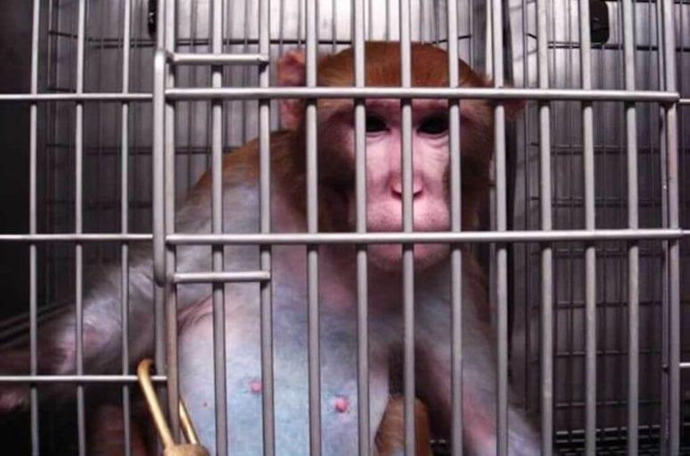 monkeys to eat lard and become nicotine booze addicts
