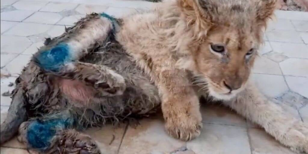 Cruel captors in Russia broke lion cub's legs so it could not escape tourists clicking pictures with it