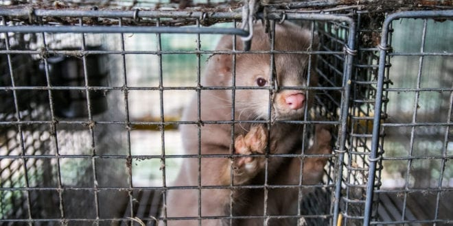 Dutch parliament votes for early closure of all 128 mink fur farms COVID-19 outbreaks