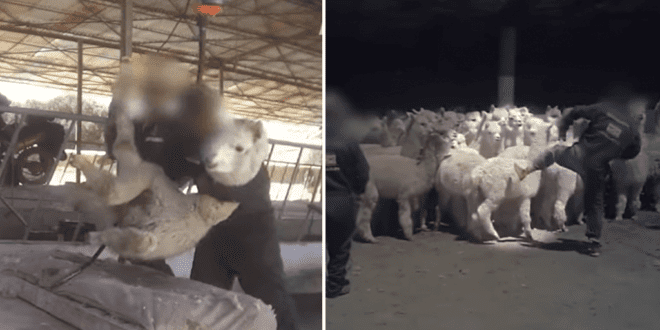 Fashion brands ditch Peru alpaca wool following PETA exposé