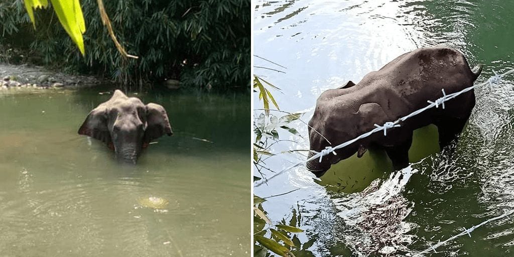 Pregnant elephant dies after locals shockingly feed her cracker-stuffed pineapple