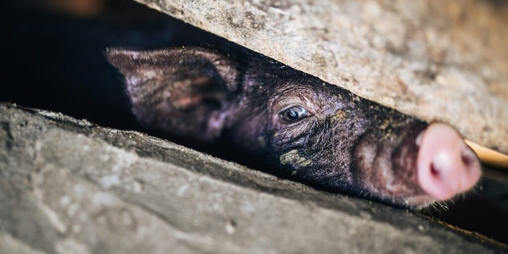 Undercover investigation reveals 'horrific abuse' at pig farm supplying Morrisons