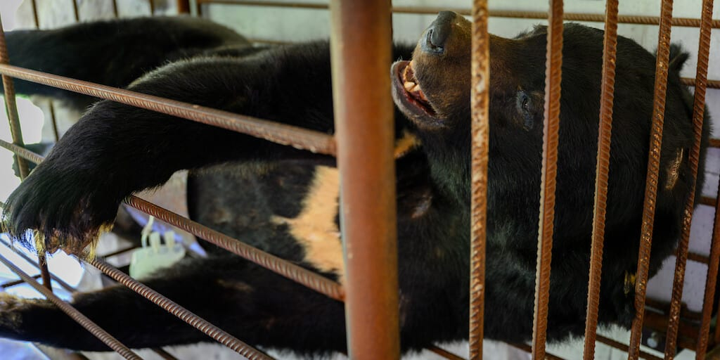 Campaigners says bear farms are a 'historical mistake' and should disappear