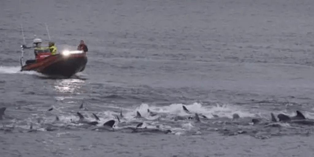 Danish waters turn red with 250 slaughtered whales' blood