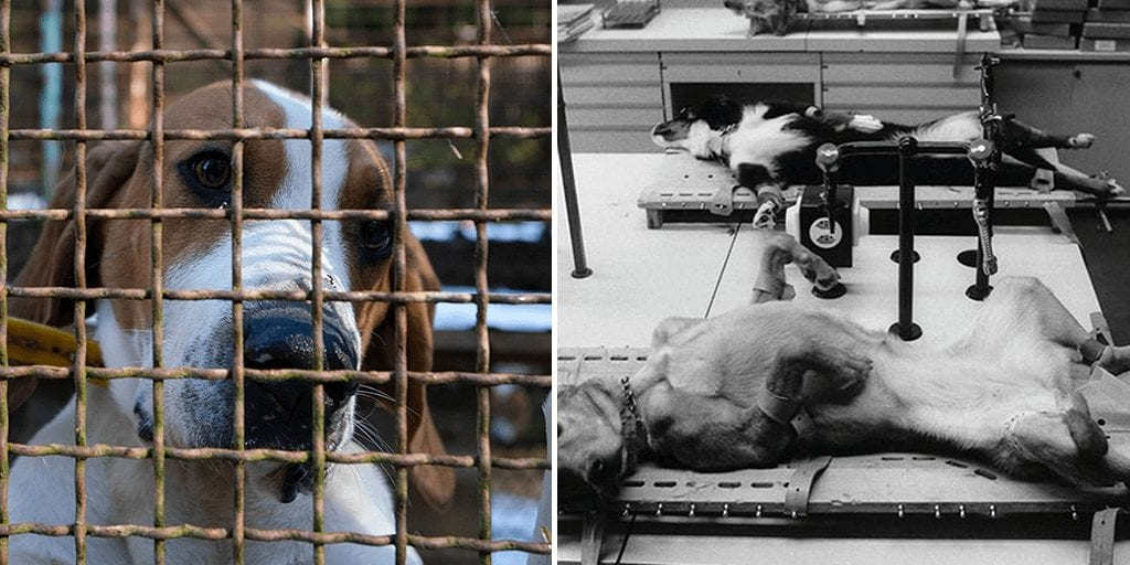 French breeders are selling puppies to labs for 'barbaric' and 'diabolic' animal testing
