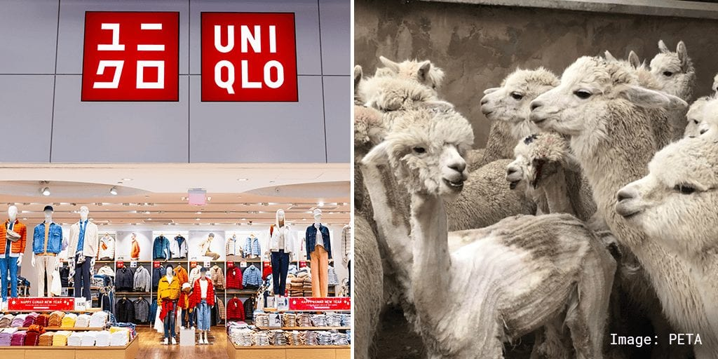 UNIQLO becomes latest brand to alpaca wool PETA exposé