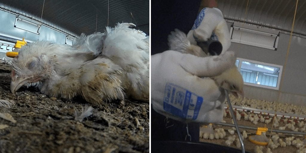 'Distressing' footage reveals 'severe animal suffering' on chicken farms supplying Tesco, Ocado and others
