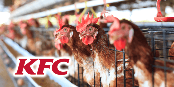 KFC accepts a third of its chickens suffer severe painful inflammation