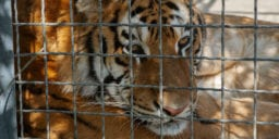 Tim Stark of 'Tiger King' permanently loses USDA exhibitor's license