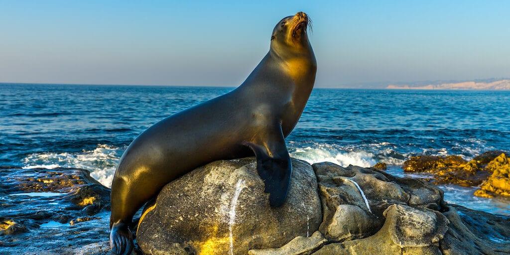 U.S. allows killing sea lions to save declining salmon population