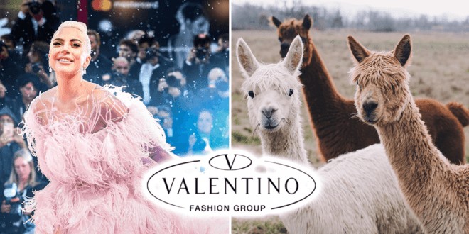 Valentino becomes first luxury brand to ban Alpaca wool