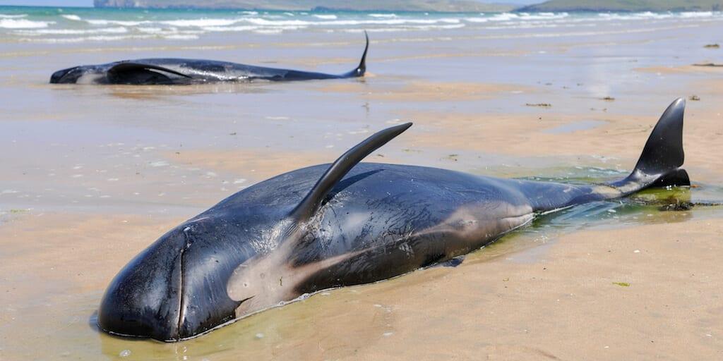 380 whales dead in Australia's worst-ever mass stranding