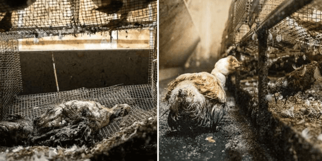 Harrowing footage exposes 'height of horror' in duck breeding farm