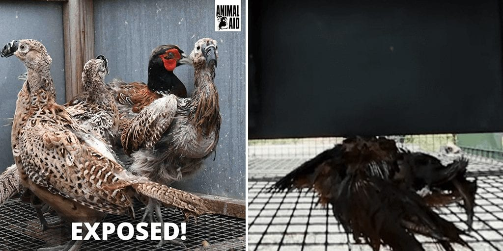 UK investigation exposes horrific reality of the 'game' bird breeding industry