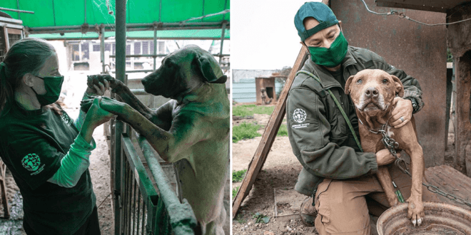 dogs rescued from tortuous South Korean dog meat farm