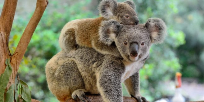 Australia's federal minister wants koala habitat bulldozed for Port Stephens quarry