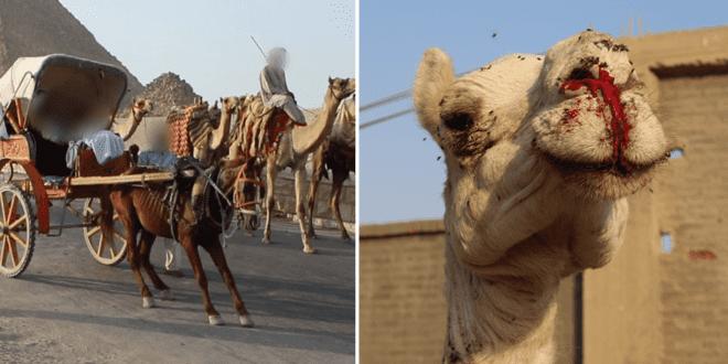 Cruel animal ride to be banned at Giza Pyramids following PETA campaign