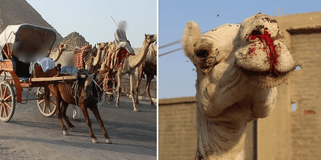 Cruel animal ride to be banned at Giza Pyramids following PETA campaign