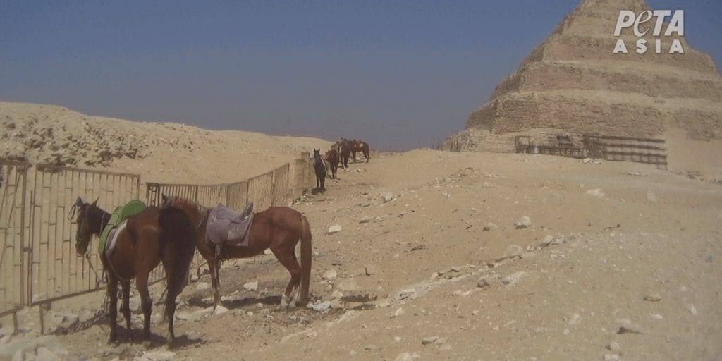 Cruel animal rides to be banned at Giza Pyramids following PETA campaign