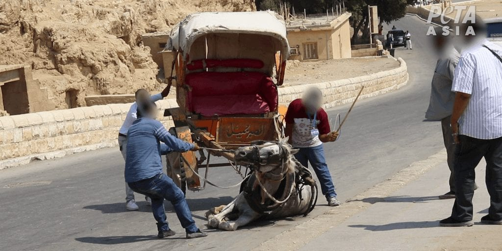 Cruel animal rides to be banned at Giza Pyramids following PETA campaign