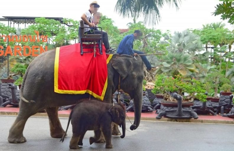 New footage shows traumatized baby elephants abused for Thailand's tourism industry