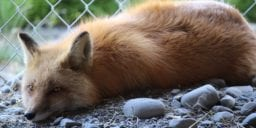 Hungary bans fur farming of mink, foxes and more after COVID-19 spread on mink farms raise