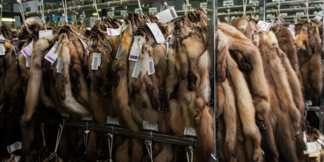 World's largest fur auction house to close down following covid-19 initiated mass mink cull
