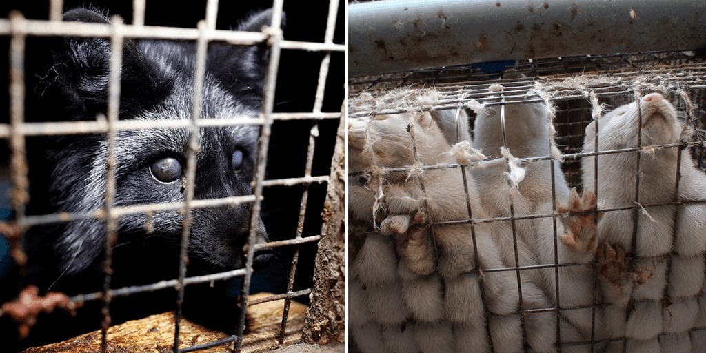 Shocking images of starving foxes feeding on rotting corpses highlight 'depraving conditions' on Polish fur farm