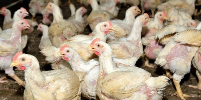 19 million poultry animals culled after bird flu spreads in South Korea