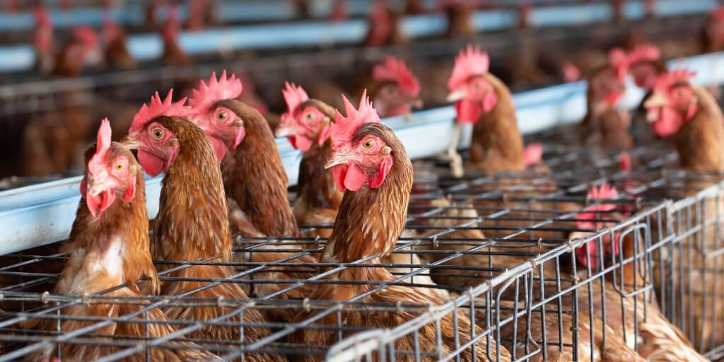 Male chick culling to be banned in Germany from 2022